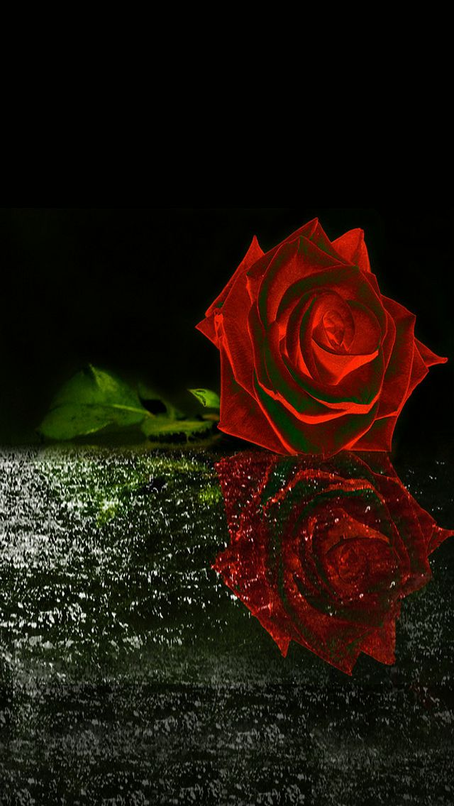 Red rose iphone wallpaper background iphone wallpaper - Red flower desktop wallpaper ...