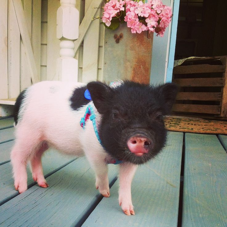 Dolly the mini pig