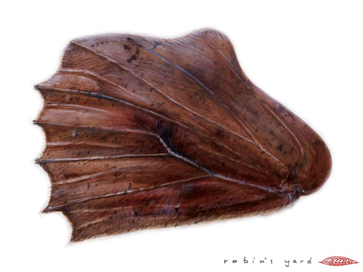 Libythea celtis hindwing underside (watercolor and color pencils, 14,8x21cm)