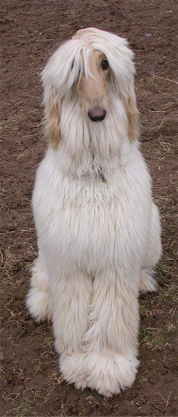 Afghan hound- :) I would so love to have one of these dogs again! I had one as a child and it was a great dog....named Schooner.