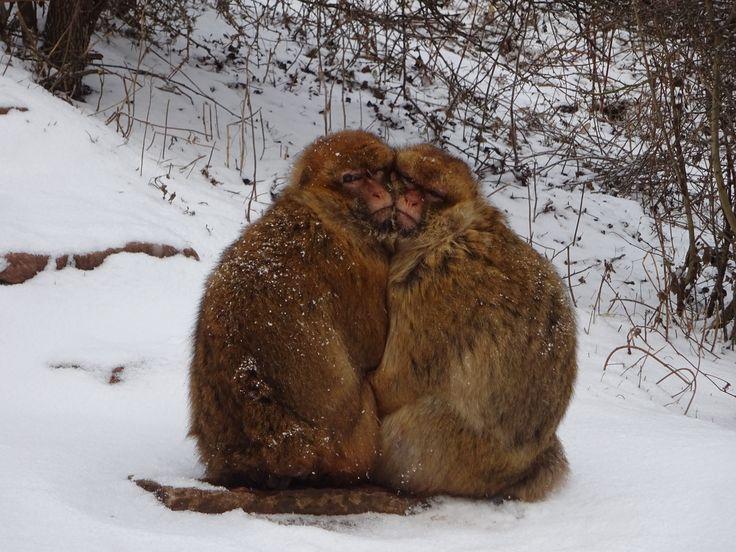 Berberaffen im Schnee - Zoopark Erfurt