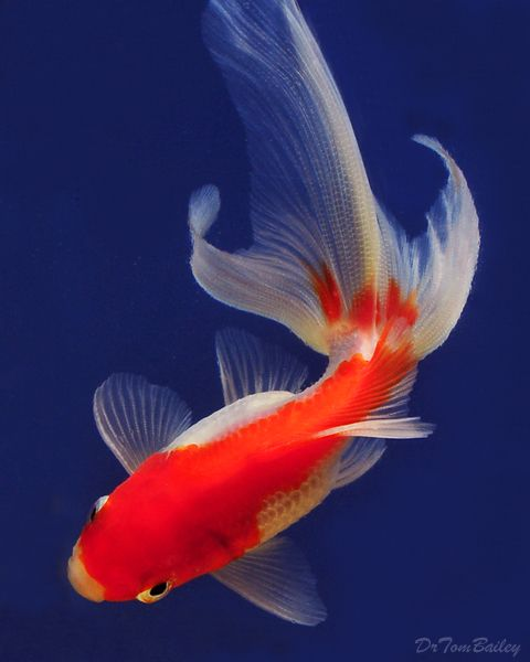 Goldfish red and white fantail koi for Koi goldfish care