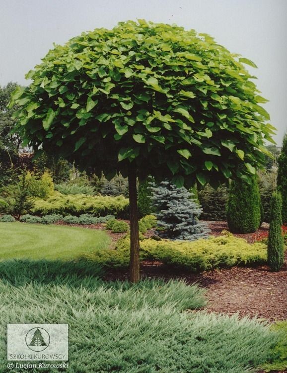 15 best images about catalpa bignonioides on pinterest gardens trees and hedges. Black Bedroom Furniture Sets. Home Design Ideas