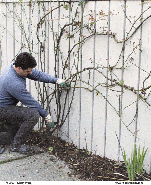Pruning Climbing Roses - Fine Gardening Article