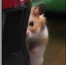 Soon Hamster Gif. So eeeevil! Cutest Hamsters