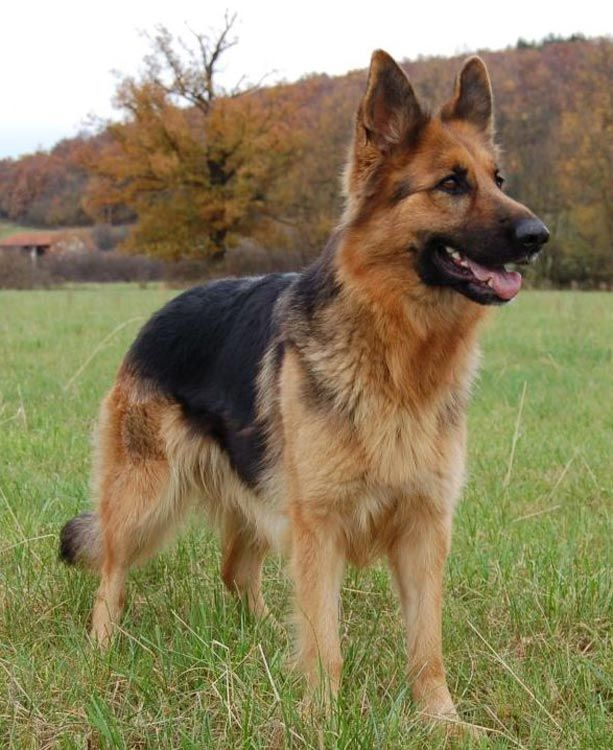 Beautiful #German #Shepherd