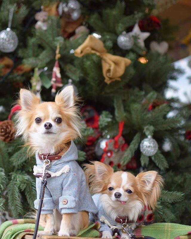今年も撮れたね♡ あと2日でノエルのバースデー&クリスマス☺︎ ・ ・ 忙し過ぎてクリスマスと御節を一気に仕上げるズボラさでごめんね⤵︎ 私達は宅配ピザかな‼︎笑 ・ ・ ・ ※Dog goods Shop Petit Chien※ ショップアカウント⇩ @petitchien2016 ・ ・ ・  nikon D3300  AF-S DX NIKKOR 35mm f/1.8G ・ #chihuahua#dog#instadog#dogstagram#instapet#pet#petstagram#instalike#mydog#lovemydog#dogsofinstagram #dogfashion#doggy#east_dog_japan #犬バカ部#愛犬#チワワ#ロンチー #ペット#ロングコートチワワ#ig_dogphoto  #カメラ女子#写真好きな人と繋がりたい#ファインダー越しの私の世界#NIKON#iGersJP#chihuahualove_feature