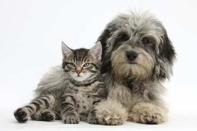 Tabby Kitten, Fosset, 8 Weeks Old, with Fluffy Black-And-Grey Daxie-Doodle Pup, Pebbles Photographic Print by Mark Taylor at eu.art.com