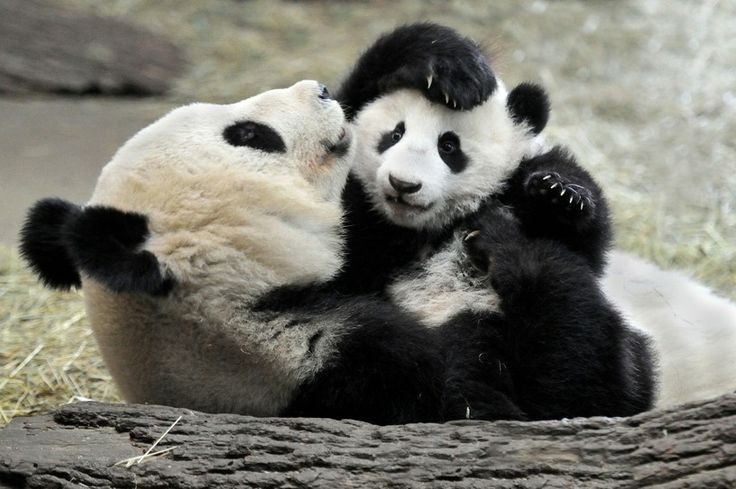 little Panda-boy Fu Bao, Zoo Vienna