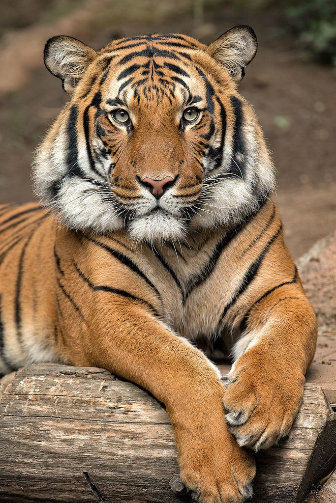 Tiger Connor posing for us at the San Diego Zoo