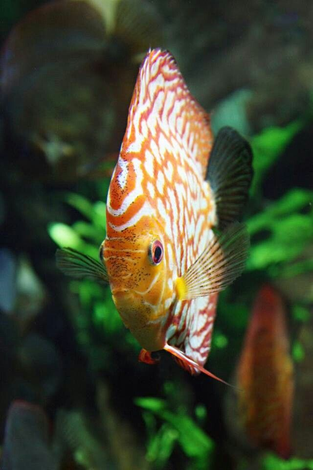 Discus fish freshwater fish pinterest discus fish for Keeping discus fish