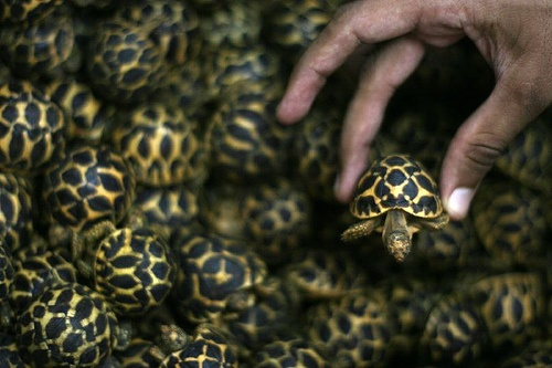 Stop tortoise smugglers!!Leetl Won, Tortoies Smugglers, Zee Leetl, Tortoises Smugglers