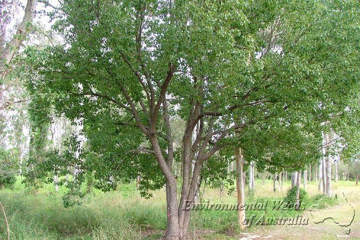 Factsheet - Cinnamomum camphora