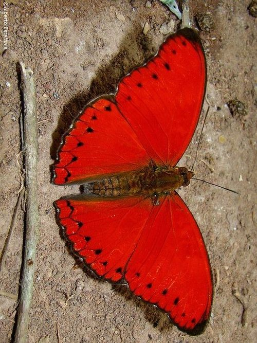 Mariposa africana Isn't this red butterfly a beauty!