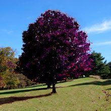 Crimson King Maple Tree