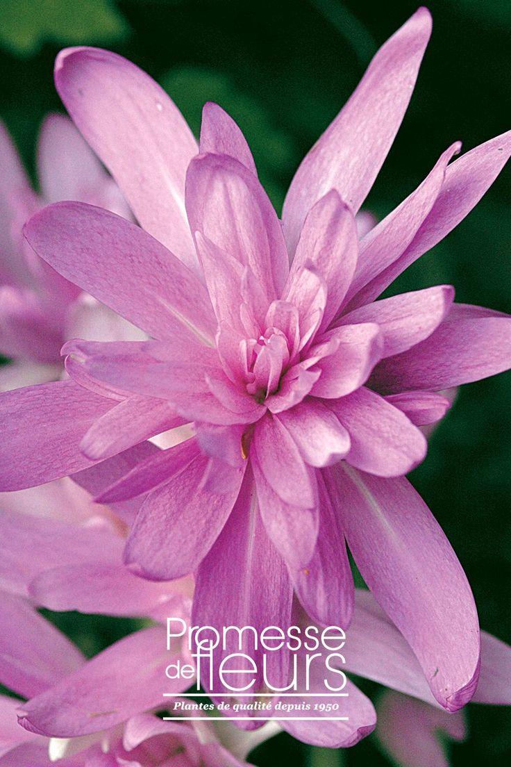 """http://www.promessedefleurs.com/floraisons-automnales/colchiques/colchique-hybride-waterlily-14-p-316.html - Le Colchique hybride Waterlily """"nénuphar"""" est une vivace vigoureuse à grandes fleurs doubles, de couleur rose lilas, floraison en octobre. #colchique #cyclamen #automne #rose #jardin"""