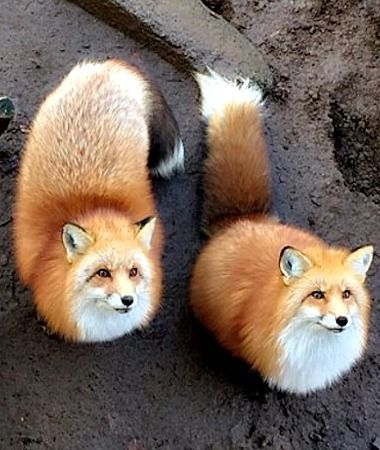Red Foxes   Zao Fox Village in Japan