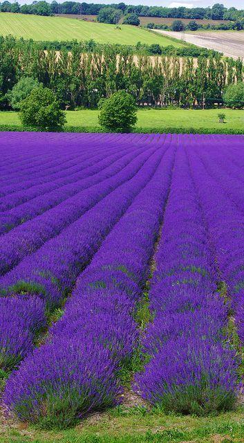 Lavender Farm Shoreham. Kent, England  The social network for travellers: www.timeblend.com #Lavender
