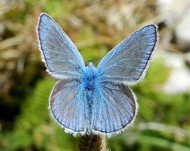 Polyommatus dorylas ([Denis & Schiffermüller], 1775) - le farfalle forse estinta nella Puglia