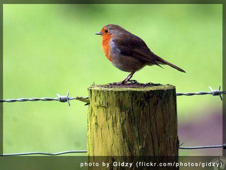 European Robin (Erithacus rubecula) - photo by Gidzy (flickr.com/photos/gidzy)