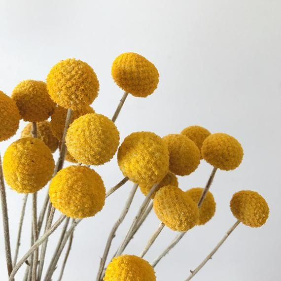 30 Dried Billy Ball Dry Craspedia Golden Ball Billy Buttons Etsy In 2020 Dried Flowers Billy Balls Craspedia