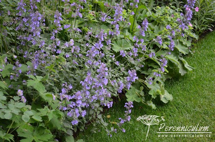 Nepeta racemosa 'Walker's Low' byla pojmenována podle britské zahrady a její název tudíž nemá co do činění s jejím habitem. Naopak, tento kultivar...
