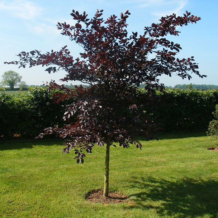 copper beech | Fagus sylvatica purpurea - Copper Beech Plants | Trees and Hedging