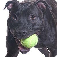 Adopt A Pet :: SQUEAK - Chicago, IL