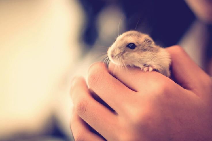 .: Cute Animal, Fun Stuff, Daisies, Hamsteerrrr O', Dwarfs Hamsters, Tiny Hamsters, Rodents, Cutest Things Ever, Prettiest Things