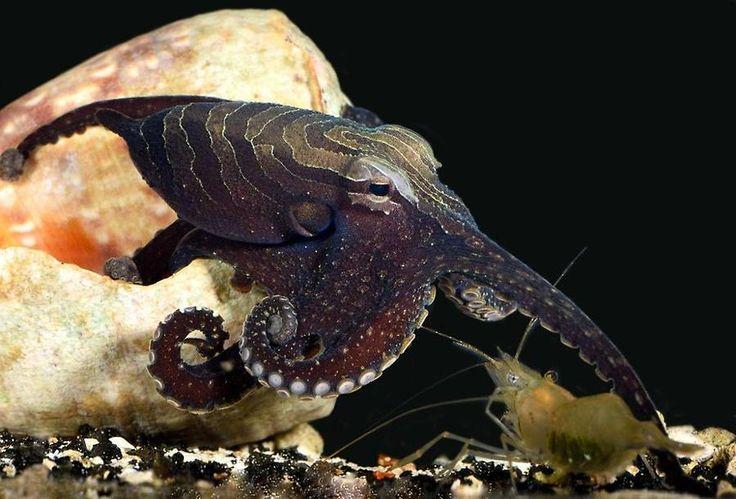 En bläckfisk som har gäckat vetenskapen i årtionden har visat sig vara betydligt mer annorlunda än andra bläckfiskar.