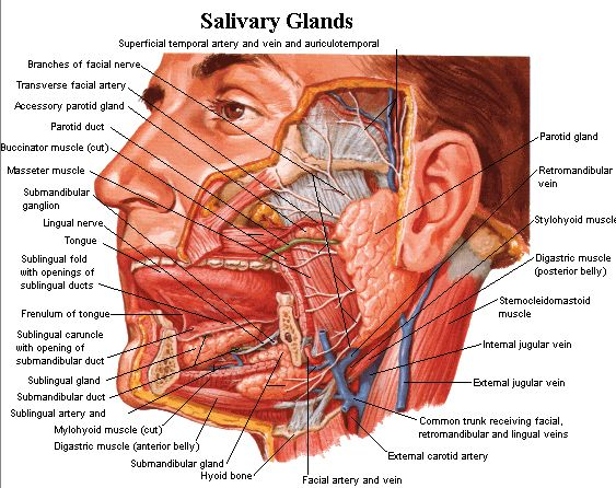 Salivary glands of the digestive system and their functions. Topics include parotid, submandibular, and sublingual salivary glands and saliva.