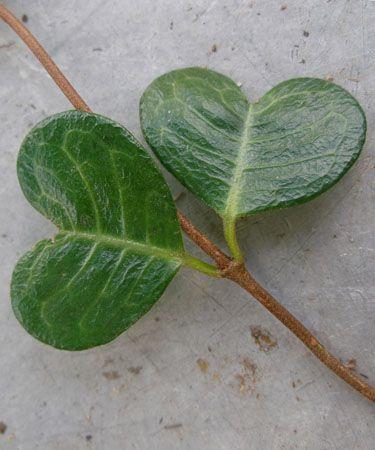 Little green heart leaves