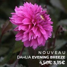 Centaurea montana carnea – Centaurée – Bleuet des montagnes à fleurs roses
