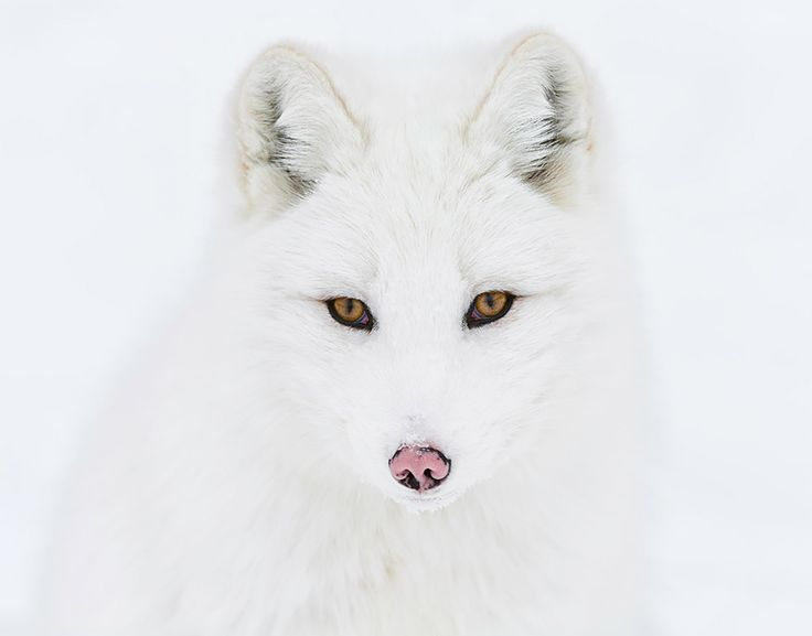 The arctic fox can be found throughout the Arctic Circle. Their thick fur keeps them from shivering in temperatures as low as -70 degrees Celsius (-94 Fahrenheit). These foxes have relatively short legs and snouts, which helps keep their surface area down and retain heat.