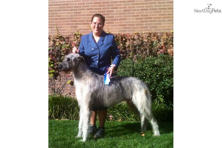 Irish Wolfhound Puppy for Sale: Irish Wolfhound Puppy For Sale - c97ffaec-d381