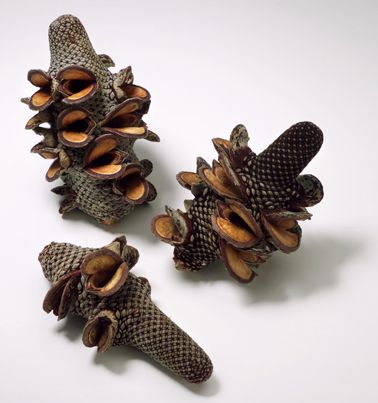 Banksia Menziesii (Firewood Banksia) The pods only open to release the seeds after a wildfire has cleared the land.