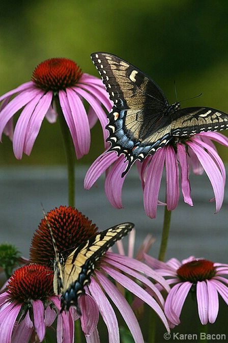 Love this photograph! My mother loved butterflies. And I love any daisy their is.