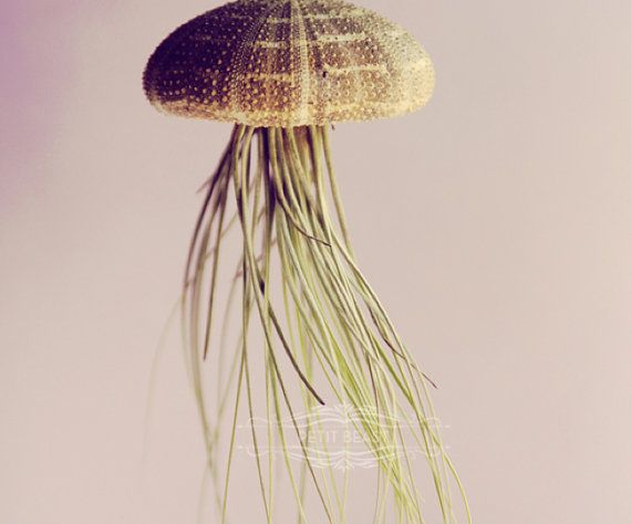 Mint Gold OMBRE Jellyfish Air Plant // Sea Urchin by PetitBeast