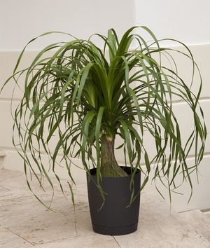 indoor houseplants tall palms html with 18 Pata De Elefante on Fca0b61be Corn Plants furthermore 18 Pata De Elefante further Care Of Majesty Palm Trees Garden Guides moreover Moth Orchid furthermore Best Indoor Trees.