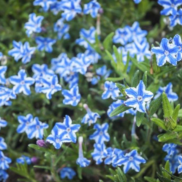 Lithodora Grows Well In Rockeries And At The Edge Of 400 x 300