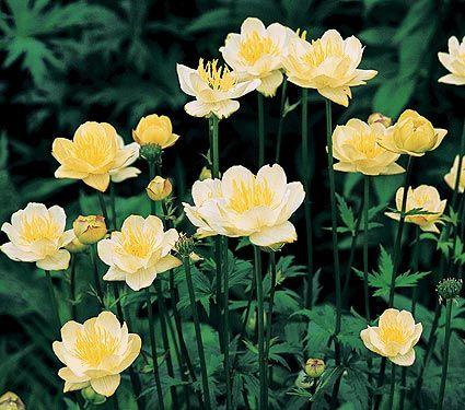 """Trollius x cultorum Cheddar. Globeflower. 24"""" Blooms May to June. Some varietys rebloom in late summer."""