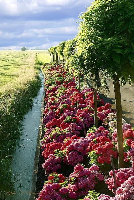Rows of red hydrangeas!