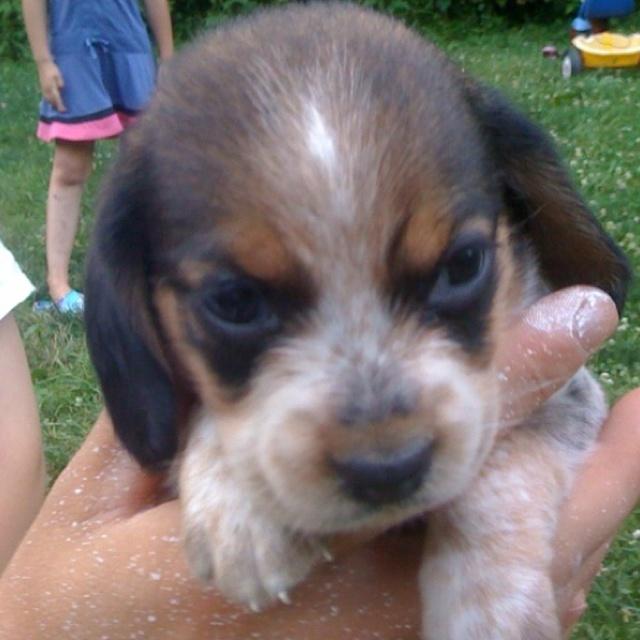 Blue tick beagle puppy! 4 wks old