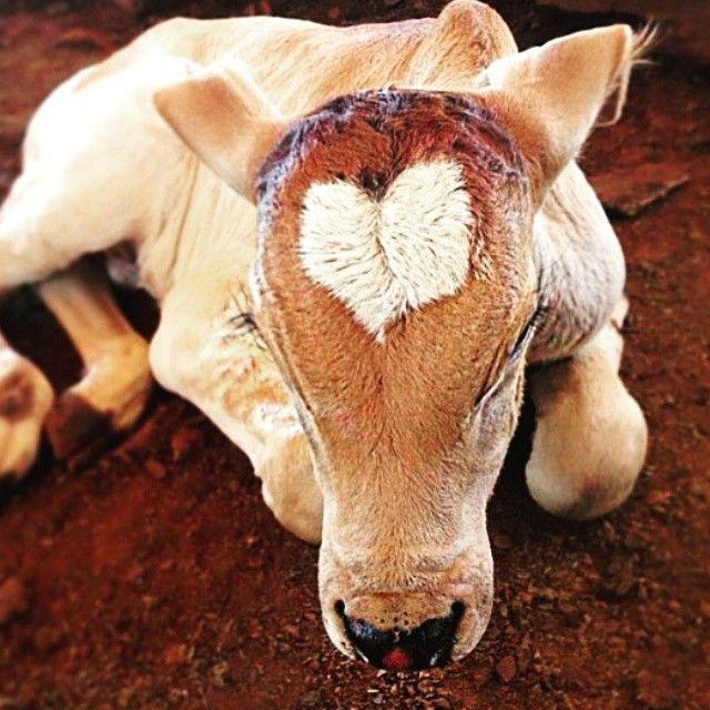 44. Cuatro pasos para prevenir el Síndrome Respiratorio Bovino en vacas lecheras adultas