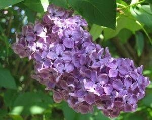 how to grow lilacs from cut flowers.  also links to other lilac growing and planting tips