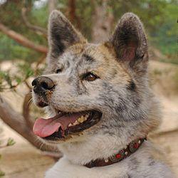 Akity istniały na Wyspach Japońskich 5000 lat temu i towarzyszyły samurajom. Akity jako psy myśliwskie znane są z uporu i zawziętości w walce, a także z pasji łowieckiej. Wykorzystywane są również przez policję i armię. To rasa psów niezależnych, mających zdecydowany charakter.