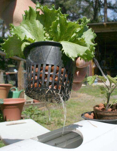 Lechuga mostrando raíces hidroponía