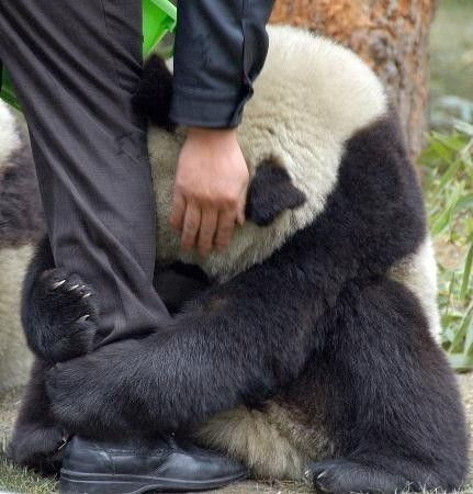 a scared panda clings to a police officers leg after a earthquake.. awww