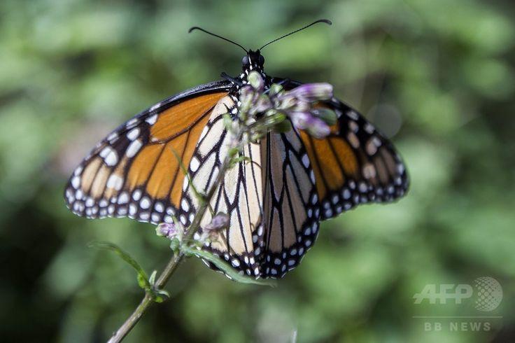 メキシコ・ミチョアカン州オカンポの森林に集まったオオカバマダラ(2016年12月19日撮影)。(c)AFP/ENRIQUE CASTRO ▼10Feb2017AFP|米国境の壁、メキシコで越冬するチョウに悪影響及ぼす恐れ http://www.afpbb.com/articles/-/3117321 #Monarch_butterfly #Danaus_plexippus #فراشة_ملكية #オオカバマダラ #Monarchfalter #Monarque #Kupukupu_raja #Monarchvlinder #君主斑蝶 #黑脉金斑蝶 #帝王斑蝶 #Данаида_монарх