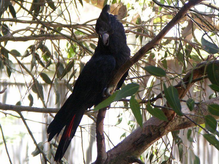 The Glossy Black Cockatoo (Calyptorhynchus lathami), also known as the Casuarina Black Cockatoo after one of their preferred food items, is the smallest member of the subfamily Calyptorhynchinae found in Australia.  http://en.wikipedia.org/wiki/Glossy_Black_Cockatoo